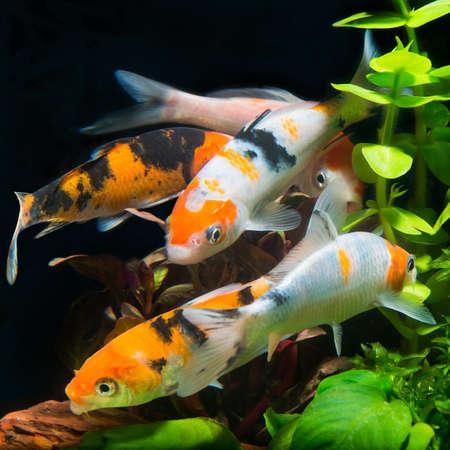 koi fish: Koi fish swimming in the fishbowl