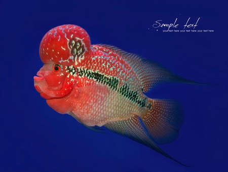 Humphead Cichlid fish isolated on Blue background photo