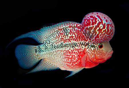 ichthyology: Flowerhorn Cichlid fish on blue background