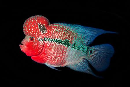 cichlasoma: Flowerhorn Cichlid fish on blue background