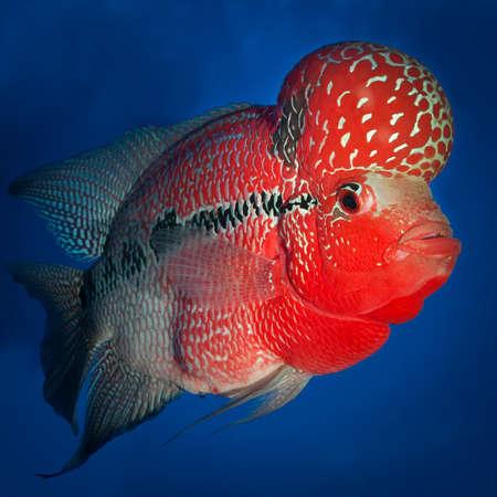 cichlid: Flowerhorn Cichlid fish on blue background