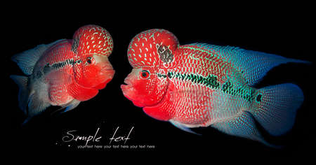 Humphead Cichlid fish isolated on Black background photo
