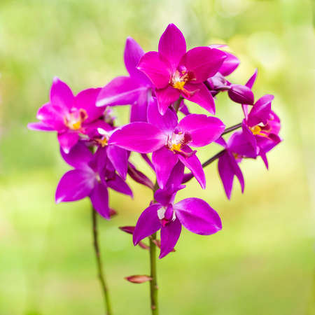 Spathoglottis Plicata purple orchids in the garden. It is also known as Ground orchid. photo