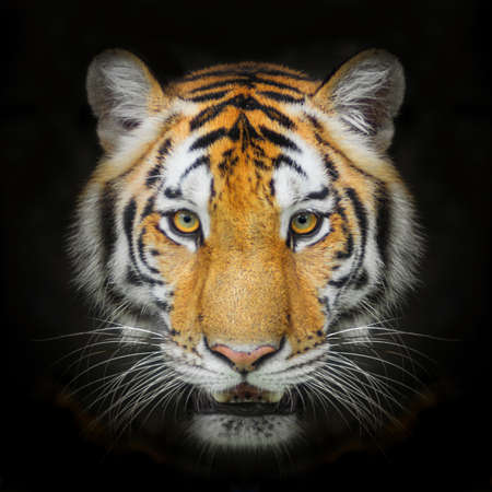 Tiger, portrait of a bengal tiger. isolated on black background