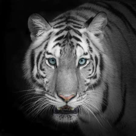 cabeza: Tigre blanco Foto de archivo