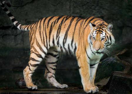 tigre blanc: Rainy au temps du soir Tiger à la recherche de la nourriture