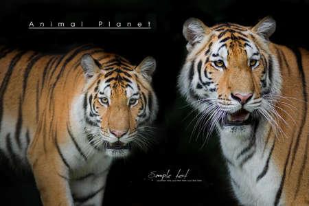 tigress: 2 Tiger isolated on black background Stock Photo