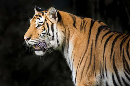 roaring tiger: Rainy at evening time Tiger out looking for food Stock Photo