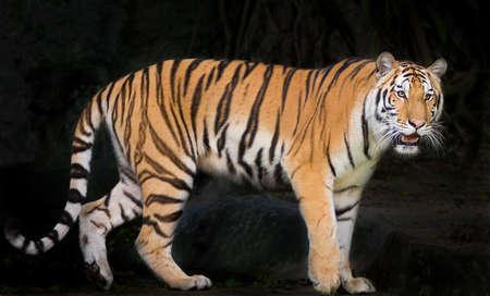 Sumatran Tiger staring victim on a rainy day.