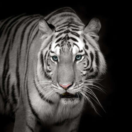 white tiger: White tiger Roaring Stock Photo
