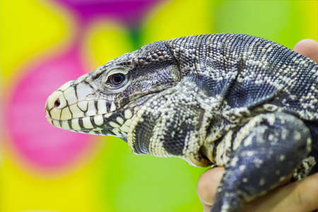 blooded: Close-up of a Black & White Tegu
