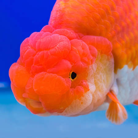 Close-up Ranchu Lion Head goldfish in fish tank
