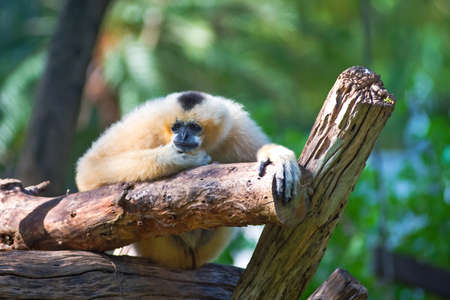 hominid: White Cheeked Lar Gibbon sitting sadly on the timber.
