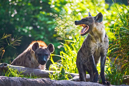 hyena: Spotted hyena threatening growl.