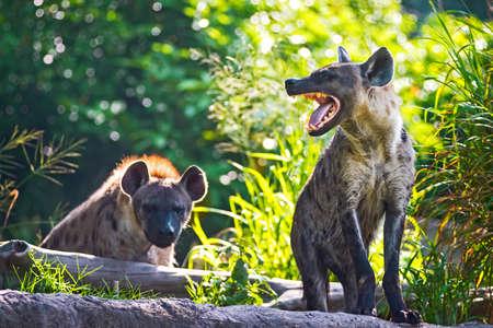 scavenge: Spotted hyena threatening growl.