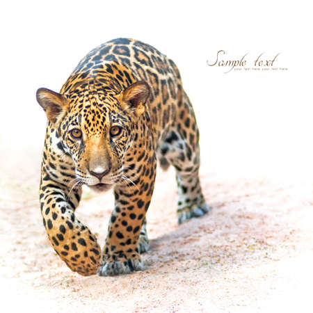 black and white panther: Leopard, Baby Leopard was walking toward the victim. Stock Photo