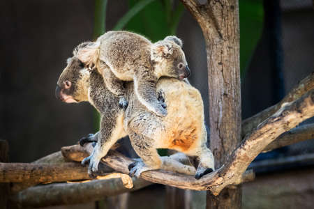 downunder: Koala baby perch on mother rear. Thailand Zoo Stock Photo