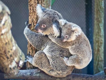 perching: Koala baby perch on mother rear. Thailand Zoo Stock Photo