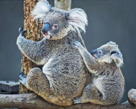 Thailand koala bear with her baby at the zoo. 写真素材