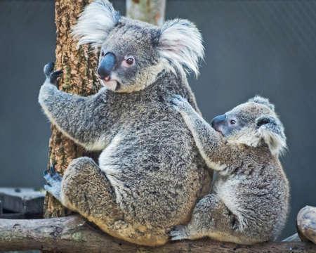Thailand koala bear with her baby at the zoo. Stock Photo