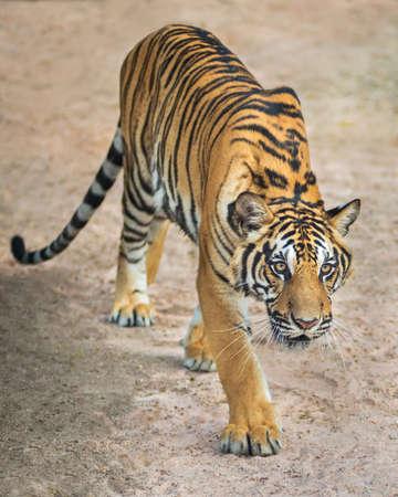 Tiger cub: J�venes de tigre