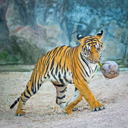 tiger page: Young tiger bites the coconut is fun to play.