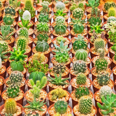 Lots of cactus photo