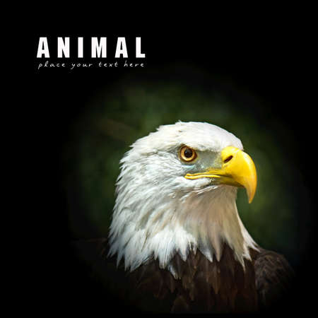 head of animal: Picture of a beautiful and wild bald eagle Stock Photo