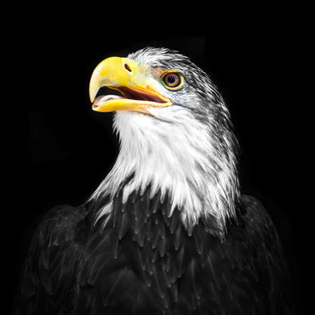 haliaeetus leucocephalus: Portrait of a bald eagle isolated on a black background (lat. Haliaeetus leucocephalus).