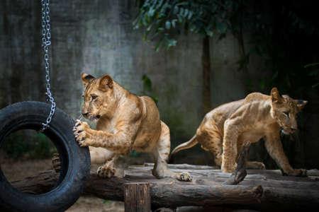 Lion kids enjoy playing wheels