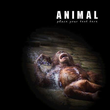orangutang: Bathing for orangutan