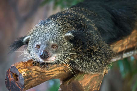 bearcat: Binturong, Bearcat, Arctictis binturong in zoo