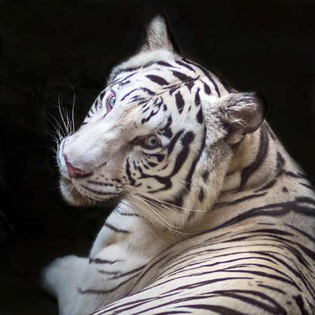 White tiger (Panthera tigris) 版權商用圖片