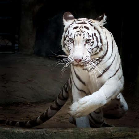 White tiger (Panthera tigris) 写真素材