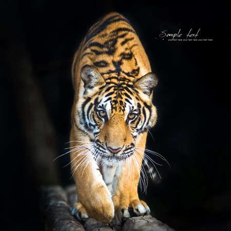 Bengaalse tijgers lopen op het hout en zwarte achtergrond