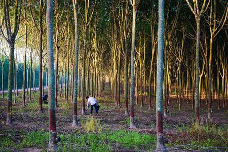 Landwirte sammeln den Wasserholzgummi morgens.
