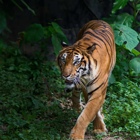 Bengal Tiger in forest show head faces fierce.