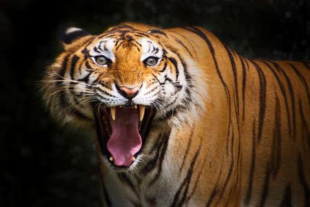 Tiger, Angry bengal tiger
