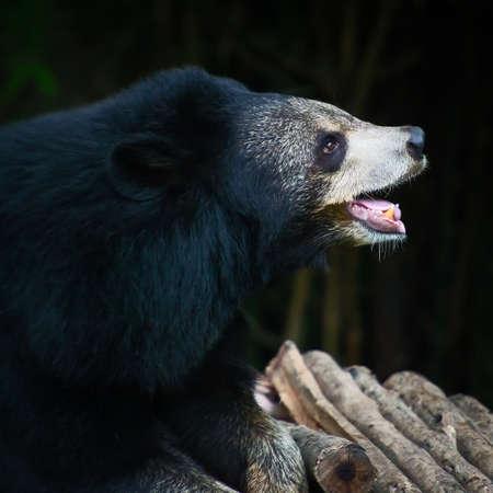 Malayan sun bear. Stock Photo