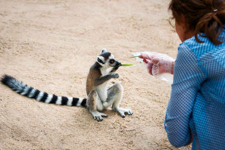 Ring-tailed, Tourists taking a lemur eats the grass.
