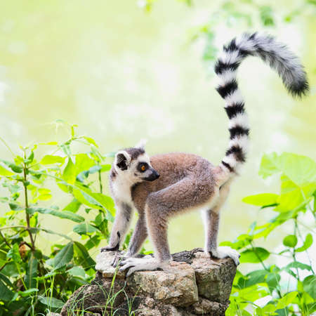 Ring-tailed lemur with a backdrop of the pool.