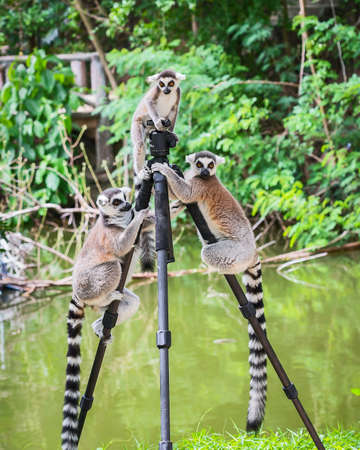 Three Ring-tailed lemur (Lemur catta)  up on a tripod at the zoo.