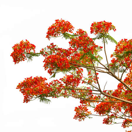 fabales: Royal Poinciana, Flamboyant, Flame Tree, that is the way of the countryside.