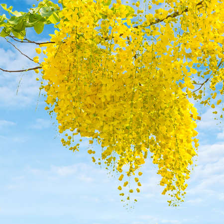 fistula: Cassia fistula flower on sky background