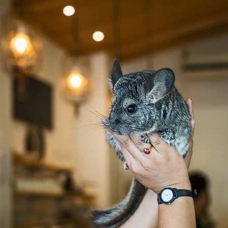 The cub chinchilla on hand.
