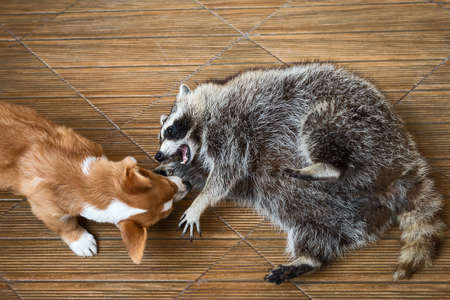 raccoons: Funny fat raccoons playing with dog.