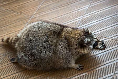 raccoons: Funny fat raccoons on the floor. Stock Photo