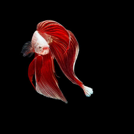 aquarium hobby: Red betta fish, siamese fighting fish beauty and freedom isolated on black background Stock Photo
