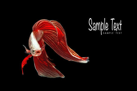 Red betta fish, siamese fighting fish beauty and freedom isolated on black background Stock Photo