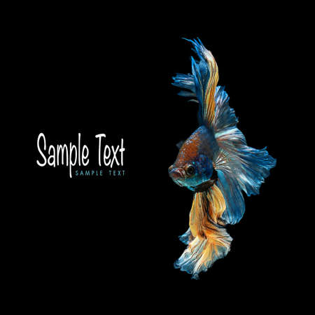 dragon swim: Colorful betta fish, siamese fighting fish beauty and freedom isolated on black background